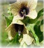 Bilsenkraut - Hyoscyamus niger