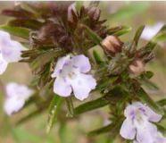 Bohnenkraut einjährig -Satureja hortensis