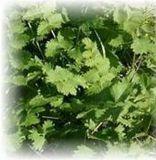 Bibernelle kleine - Pimpinella saxifraga