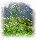 Brotklee (Zigeunerkraut) - Trigonella caerulea