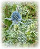 Blaudistel - Eryngium planum