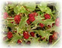 Erdbeerspinat echter - Chenopodium foliosum