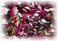 Färber-Amaranth - Amaranthus cruentus