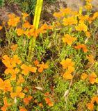 Gewürztagetes orange - Tagetes tenuifolia