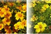 Tagete aromatica (fiori misti) - Tagetes tenuifolia