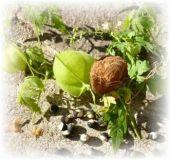Herzsame - Cardiospermum halicacabum