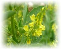 Honigklee - Melilotus officinalis