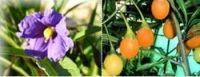 Känguruh-Apfel - Solanum laciniatum
