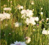 Kornblume weiß - Centaurea cyanus