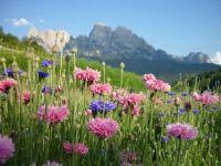 Kornblume mix - Centaurea cyanus