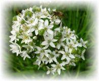 Chinesischer Schnittlauch - Allium tuberosum sp.