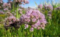 Schnittknoblauch rosa - Allium species