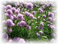 Schnittlauch grob - Allium schoenoprasum