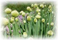 Winterheckenzwiebel - Allium fistulosum