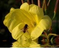Nachtkerze, amerikanische - Oenothera stricta