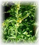 Odermenning - Agrimonia eupatoria