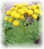 Rainfarn kraus - Tanacetum vulgare Crispo