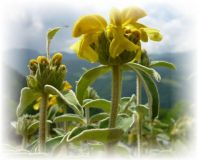 Jerusalemsalbei - Phlomis fruticosa