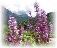 Muskatellersalbei Piemont - Salvia sclarea var. turkestanica
