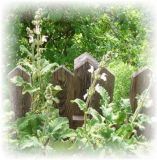 Rasierwassersalbei- Salvia disermas