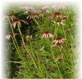 Sonnenhut schmalblättrig - Echinacea angustifolia
