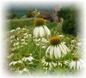Sonnenhut weißblühend - Echinacea purpurea `White Swan`