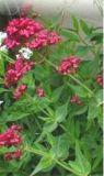 Ceranto rosso - Centranthus ruber
