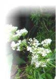 Spornblume weißblühend - Centranthus ruber Albus