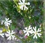 Sternbalsam - Zaluzianskya capensis