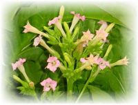 Tabak - Nicotiana tabacum