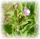 Weidenröschen kleinblütiges - Epilobium parviflorum