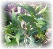 Wühlmauskraut - Euphorbia lathyris