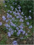 Asperula  -  Asperula orientalis