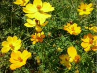 Cosmea orange - Cosmos