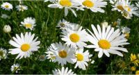 Margerite - Chrysanthemum leucanthemum