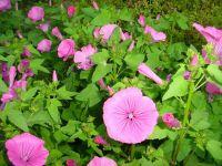 Schönmalve rosa - Bechermalve - Lavatera trimestris