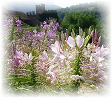 Spinnenblume - Kleopatranadel - Cleome spinosa