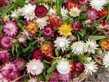 Strohblume bunt - Elicriso