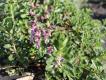 Gamander aufrecht- Teucrium chamaedrys v.hortensis