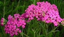Schafgarbe rot, rosa, weiß - Achillea millefolium sp.