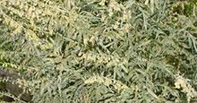 Wermut - Artemisia absinthium