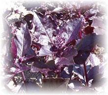 Basilikum Rubin, rotes - Ocimum basilicum