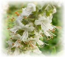 Basilikum Zitronen - Ocimum species