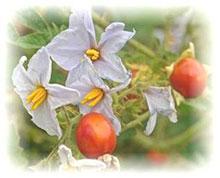 Litschibeere -Solanum sisymbiifolium