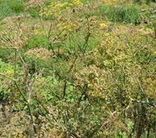 Bronzefenchel - Foeniculum vulgare var. Dulce Rubrum