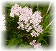 Valeriana - Valeriana officinalis