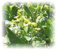 Bauerntabak - Nicotiana rustica