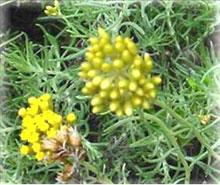 Elicriso - Helichrysum italicum