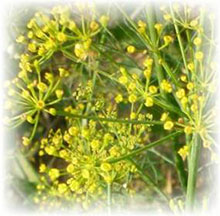 Dill - Anethum graevolens
