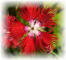 Duftnelke rot - Dianthus